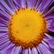 Macro shot of wet violet aster centre — Stock Photo