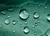 Macro shot of rain drops on cabbage leaves — Stock Photo