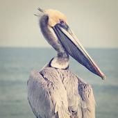 žlutý hlavy pelikán — Stock fotografie