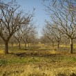 Pistachio Tree Farm in Winter — Stock Photo #21768411