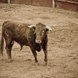 Spanish and Dangerous bull in the bullring — Stock Photo