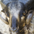 Black goat with big horns - Stock Photo