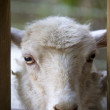 White sheep staring at camera — Stock Photo