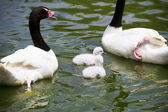Goose breeding with her parents in a river of green water — Stock Photo