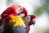Parrot preening — Stock Photo