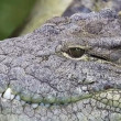 Dangerous crocodile lounging by a river of green water, rough skin detail - Stok fotoğraf