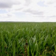 Video of a wheat field — Stock Video