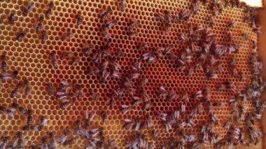 Bouchent la vue des abeilles travail sur honeycells. — Vidéo