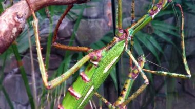 Huge and mysterious stick insect — Stock Video