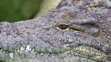 опасный крокодил, отдыхая у реки зеленые воды, деталь грубой кожи — Стоковое видео