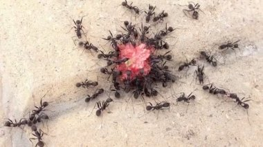 Group of black ants eating a sweet — Stock Video