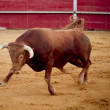 Stock Photo: Brave and dangerous brown bull in bullring