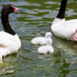Goose breeding with her parents in a river of green water — Stockfoto