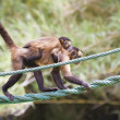 Monkey with her young hanging from rope - Stock Photo