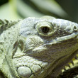 Green lizard skin detailing hard and scaly - Stock Photo