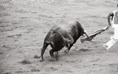 Dangerous bull in the bullring, black and white — Foto de Stock