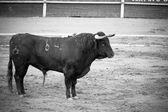 španělský býk v aréně, španělská korida — Stock fotografie