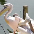 Group of pelicans resting in the sun — Stock Video