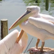 Stock Video: Group of pelicans resting in the sun