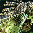 Stock Video: Dangerous Lion fish