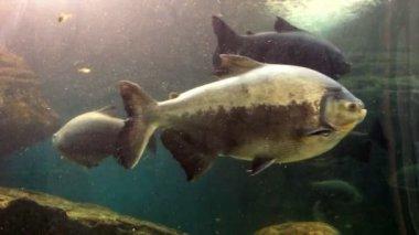 Grupp under havsfisk, stor fisk — Stockvideo