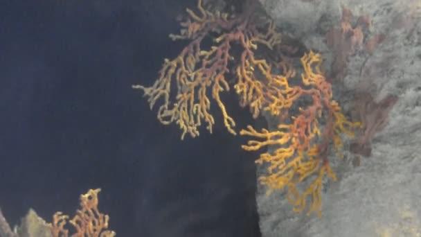 Poissons tropicaux sur un récif de corail — Vidéo