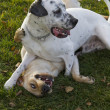 Two dogs playing at park, labrador and dalmatian - Stockfoto