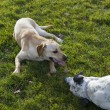 Labrador Retriever  and dalmatian bonding on a park — Photo