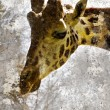 Artistic portrait with textured background, giraffe head - Stock Photo