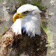 Artistic portrait  of a bald eagle (lat. haliaeetus leucocephalu - Stock Photo