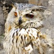 Great Horned Owl (Bubo virginianus) Intense Stare, artistic port - Stock Photo