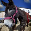 Donkey close up in a farmland - Stock Photo