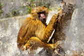 Artistic portrait with textured background, baboon — Foto de Stock
