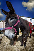 Donkey close up in a farmland — Stock Photo