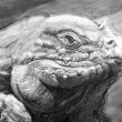 Iguana art, tattoo style. Awesome illustration in grey pencil - Stock Photo