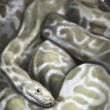 Illustration sketch of boa, snake, made with digital tablet — Stock Photo #21624767