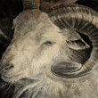 Stock Photo: Sketch made with digital tablet of goat head with big horns