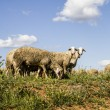 Sheep in wheat field, and summer freedom - Stock Photo
