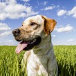 Royalty-Free Stock Photo: Labrador retriever in wheat field, and summer freedom