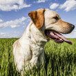 Labrador retriever in wheat field, and summer freedom — Stock Photo