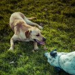 Stock Photo: Labrador Retriever and dalmatian bonding on a park