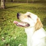Labrador Retriever dog in autumn — Stock Photo