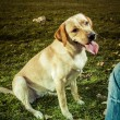 Labrador Retriever dog in autumn  — Stock Photo