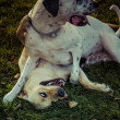 Stock Photo: Two dogs playing at park, labrador and dalmatian