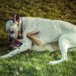 Stock Photo: White dalmatidog playing on park