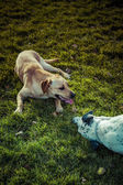 Labrador Retriever and dalmatian bonding on a park — Stock Photo
