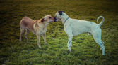 Labrador Retriever and dalmatian bonding — Stock Photo