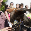 Display of birds of prey, golden eagle — Stock Photo #39718515