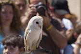 Display of birds of prey, screech owl — Foto Stock