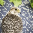 Falcon — Stock Photo #40346921